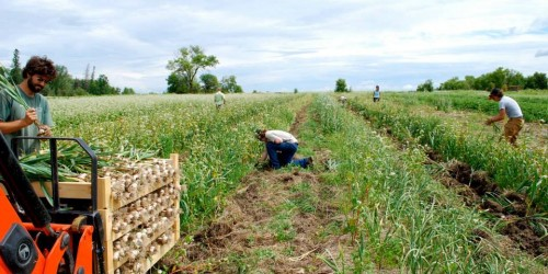 Garlic in a field