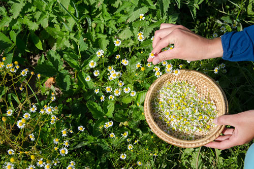 Picking herbs in the field